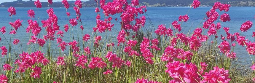 Photo of pink spring flowers with background at One Tree Point